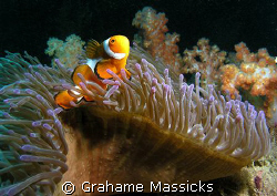 Found off Tioman Island.  Shot  with my Olympus 5060. by Grahame Massicks