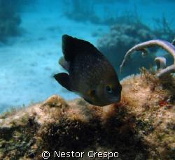 Threespot Damselfish @ Culebra Puerto Rico, I used my Can... by Nestor Crespo