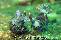 Mating Nudibranchia. by Mikhail Smirnov