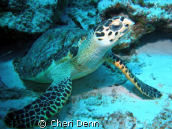 "I named her ""Daisy""  This was taken on Planacar Reef in C... by Cheri Denn"