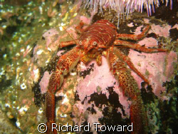 Squat Lobster taken off St Abbs Head with a Canon A570is by Richard Toward