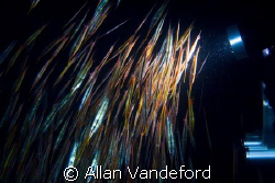 Night dive at Magic Pier, Buton, South Sulawesi.  The col... by Allan Vandeford