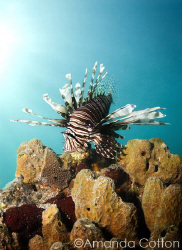 Lionfish on coral. ©Amanda Cotton by Amanda Cotton