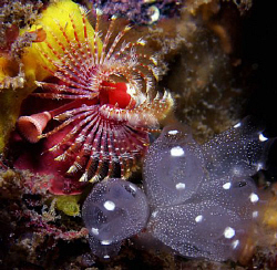Fan worm and tunicates, Clovelly by Doug Anderson