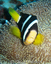 Clown fish defending his anemone by Raoul Caprez