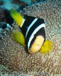 Clown fish defending his anemone by Raoul Caprez