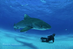 free divers and a tiger shark- what more could an UW phot... by Fiona Ayerst