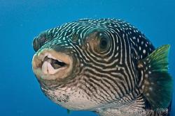 Pufferfish.  Wakatobi, SE Sulawesi.  Canon 40D & Canon 10... by Ross Gudgeon
