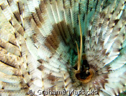 Photographed on South Reef, Salang Bay, Tioman Island wit... by Grahame Massicks