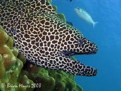 A large Honeycomb Moray (Gymnothorax favagineus) coming o... by Brian Mayes