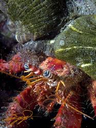 Hermit Crab. by Nicholas Samaras