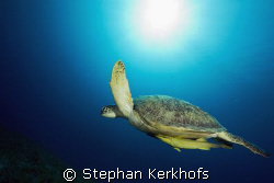 female green turtle (chelonia mydas) taken in Na'ama bay. by Stephan Kerkhofs