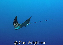 White Spotted Eagle Ray down at 30m off Grand Cayman. Tak... by Carl Wrightson