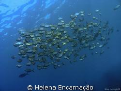 Free. Shoal of salema (Sarpa salpa). Madeira Island. by Helena Encarnação
