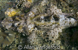 Carpet or Crocodile Flathead?  You be the judge.  Image t... by Allan Vandeford