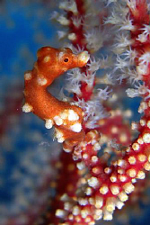 Pygmi sea horse in Cebu. Casio Exilim by Andrew Macleod