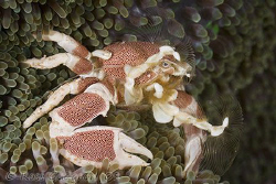 Fan dance.  Porcelain crab fishing for food.  Ningaloo Re... by Ross Gudgeon