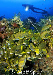 another tightly packed group of sweetlips with numerous c... by Geoff Spiby