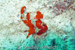 Frog fish off of ishigaki jima a small island on the sout... by Bradley Mihelich