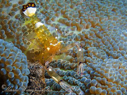 Anemone commensal shrimp (Periclimenes brevicarpalis) - P... by Marco Waagmeester