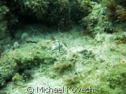 juvenille spotted drum on the Inside Reef at Lauderdale b... by Michael Kovach