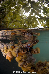 Colourful sponges growing on the roots of the mangrove tr... by Erika Antoniazzo