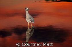 Night Heron Reflection  This Night Heron in Cayman Brac... by Courtney Platt