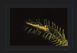 Crinoid Shrimp (Periclimenes amboinensis) by Sven Tramaux