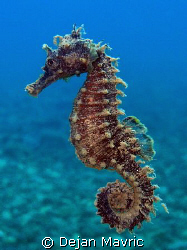 Another seahorse. Taken in april, presented at VODAN. Oly... by Dejan Mavric