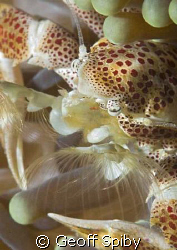 porcelain crab feeding by Geoff Spiby