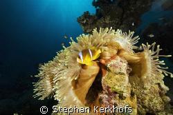 magnificent anemone (heteractis aurora) taken in ras ghoz... by Stephan Kerkhofs