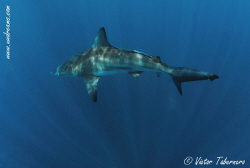 What a wonderful creature!! Save the Sharks!! by Victor Tabernero