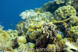 A view of the strikingly healthy coral life at approximat... by Allan Vandeford