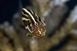 Soapfish close up Fuji S5 pro /105mmVR by Yves Antoniazzo