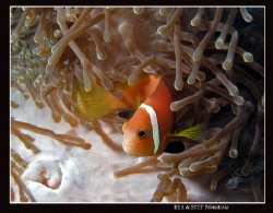 Clown fish (Amphiprion nigripes). Canon G9 & Inon D2000 s... by Bea & Stef Primatesta