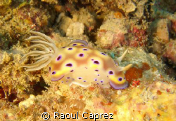 It's my favourite nudibranch ! by Raoul Caprez