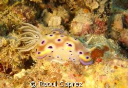 It's my favourite nudibranch ! by Raoul Caprez