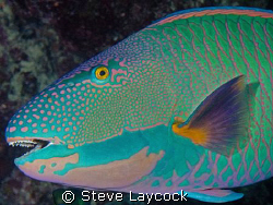 Two colour parrot fish, with nice teeth by Steve Laycock