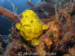 Frogfish by Abimael Márquez