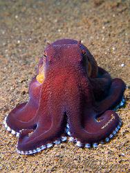 Octopus portrait (Octopus marginatus) - Puri Jati, Bali (... by Marco Waagmeester