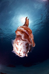 Cuttlefish in the sun. by Erika Antoniazzo