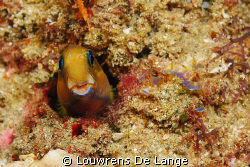 Face on of orange blenny by Louwrens De Lange