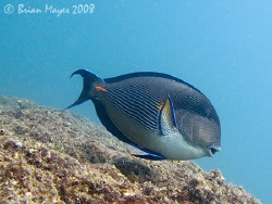 Sohal (Acanthurus sohal)...¸><((((º>....Canon G9 by Brian Mayes
