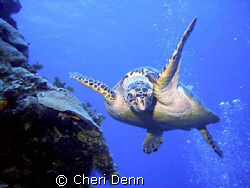 This turtle just loved playing with my bubbles.  I had th... by Cheri Denn