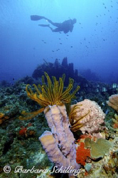 A diver investigating a orange crinoid in a purple tube s... by Barbara Schilling