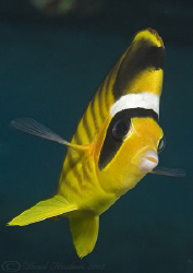 Red sea Raccoon butterflyfish. D200, 60mm. by Derek Haslam