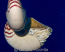 I ran across this Nautilus picture from PNG.  Realized I ... by Larissa Roorda