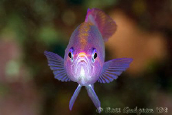 Eeeeew, you smell bad!!  Disapproving Anthias.  Wakatobi,... by Ross Gudgeon
