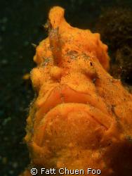 Potrait of a Giant Frogfish, Lembeh, N Sulawesi by Fatt Chuen Foo