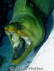 Open up and say Ahhhh... Green Moray Cozumel MX. Papa Ho... by Dave Holden
